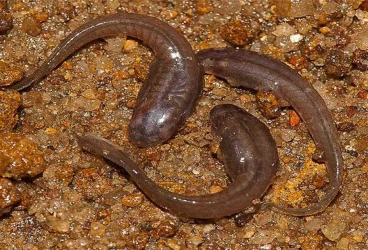 SAND EATING TADPOLES FOUND IN WESTERN GHATS