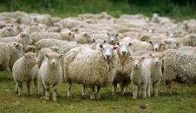 KENDRAPARA SHEEP GETS RARE STATUS